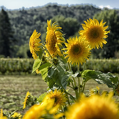 The Summer is coming !!! (jo.misere) Tags: albas zonnebloem geel yellow frankrijk france ngc