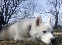 Contemplating Life (KLF & JRN) Tags: kjphotography siberianhusky pointynoseddogs brantford husky blueeyeddog blueeyes pet dog animal dognose