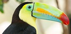 Keel-billed Toucan (Ramphastos sulfuratus). Poas Volcano. Costa Rica. 2015/02. (joelgambrelle) Tags: catchycolors costarica tropical jungle bird toucan