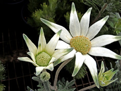 Actinotus helianthi, Flannel flower (AlfredSin) Tags: alfredsin australianflowers australianplants australiannativeplants australiannativeflowers whiteflowers sydneyflowers nsw nikonp7800