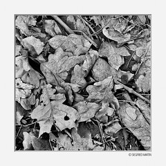 natura morta 01 (siggi.martin) Tags: europa europe deutschland germany bayern bavaria natur nature blatt leave blätter leaves verwittert weathered schwarzweis blackandwhite