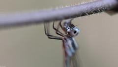 Blue Ringtail Australian Damselfly (Austrolestes Annulosus) Hanging on! (Breeana_Shenae) Tags: austrolestes annulosus austrolestesannulosus blue inlandringtail blueinlanringtail australia australiandamselfly damselfly macro macrophotography