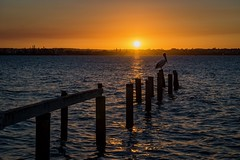 The most popular pelican. 10/100 (jenniferdudley) Tags: queensland brisbane moretonbay bayside clevelandpoint nikonaustralia nikond4s nikon canoncollective canon photomeet photography sunsetting sun dusk sunset beach sea seaside bird pelican