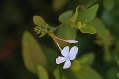 Another Walk Around the Parents' Yard Series (C. VanHook (vanhookc)) Tags: plants flowers awonderfulworldofgreen plumbago leadwort