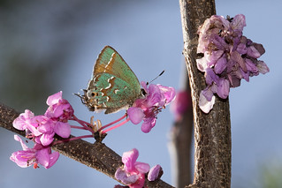 Juniper Hairstreak, Columbia, Tennessee.jpg