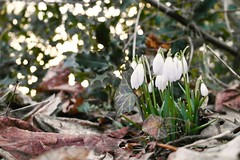 Snowdrops (Vintergækker) (Christine Steuer) Tags: winter snow snowdrops leafs vintergækker denmark europe ground backligt backlit green white peace color beautiful lovely nature natur tree flower blossom flowers plant growth spring
