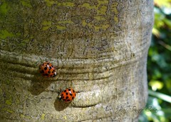 Mr and Mrs (Jean Turner Cain) Tags: insect ladybird nature macro close up