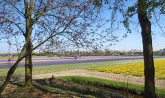 Bulb field colours (Martin van Duijn) Tags: bulbfield colours flowers hyacinthus tulips daffodils holland netherlands spring bollenstreek bulb lisse sassenheim hillegom dezilk noordwijkerhout noordwijk