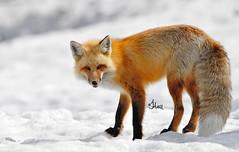 Fancy Fox in Winter - 3326b+ (teagden) Tags: red fox redfox winter jenniferhall jenhall jenhallphotography jenhallwildlifephotography wildlifephotography wildlife wyoming wyomingwildlife nature naturephotography snow winterfox photography nikon wild