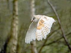 Barn owl (mikedoylepics) Tags: barnowl birds bird animals british d750 lingfield nature nikon nikond750 surrey