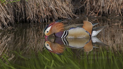 _IMG1081 Mandarin Drake (In Explore) (Pete.L .Hawkins Photography) Tags: mandarin drake ducks martin mere pentax petehawkinsphotography petehawkins petelhawkinsphotography k1 da300mmf4 fantasticnature beautiful bird