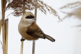 Rémiz penduline - Eurasian Penduline Tit (Remiz pendulinus) - Saint-Priest - Les Perches (Rhône) France, le 30 décembre 2016