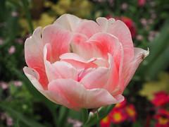 Tulipa rosada (tgrauros) Tags: frança jardídeluxemburg jardinduluxembourg parís tulipes