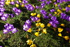 Conservatory flower bed (Sparky the Neon Cat) Tags: europe united kingdom uk great britain gb england northumberland wallington walled garden crocus purple ruby giant flower bed conservatory yellow aconite