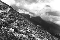 temi tea.. (Little Blezz) Tags: mountain tea garden temi clouds hill black white monochrome