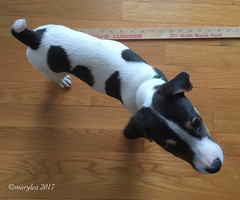 He doesn't understand... What's the goal here?  10 weeks old.  March 18, 2017. (marylea) Tags: mar18 2017 iphone puppy measure parsonrussellterrier parsonrussell terrier dog howtomeasureapuppy dooley jackrussellterrier jackrussell