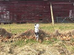 Jumping Over a Fence! (marylea) Tags: mar24 2017 farm exploring dooley dog parsonrussellterrier parsonrussell jackrussellterrier jackrussell puppy 11weeksold rural michigan washtenawcounty terrier