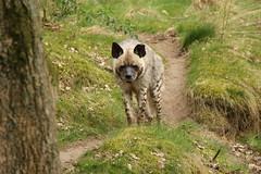 Hyena (ToJoLa) Tags: canon canoneos60d 2017 safaripark beeksebergen voorjaar spring lente animals dieren dierentuin noordbrabant zoo