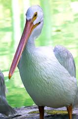 Memphis Zoo 08-31-2016 - American White Pelican 1 (David441491) Tags: americanwhitepelican pelican bird memphiszoo