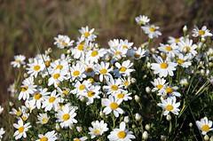 E' arrivata la Primavera!!! .... Spring is here!!! (Marco_964) Tags: primavera margherita cespuglio spring bushofdaisywheel bianco giallo verde natura white yellow nature pentax green