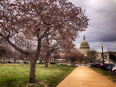 Cherry Blossom in Washington, DC (` Toshio ') Tags: toshio washington washingtondc districtofcolumbia capital capitol cherryblossoms tree flower bloom architecture path building congress nature iphone