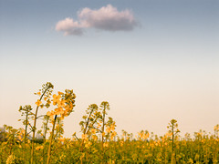 Etude of nature (Carlos Lacano) Tags: flower field cloud sky leica digilux 2 carlos lacano stommeln landscape spring yellow