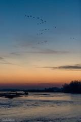 C2N_4483 (Clark Engbrecht) Tags: kearney nebraska sandhillcranes birds migration nature wildlife