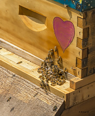 Brian_Kinder Farm Honey Bees 1a LG_042216_2D (starg82343) Tags: 2d brianwallace kinderfarmpark beehive honeybees bees hive box woodenbox outdoors outside insects heart