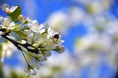 Polinitzant. (josepponsibusquet.) Tags: polinització abella abejas primavera pruner salt gironès catalunya catalonia cataluña arbre jardí floració polen