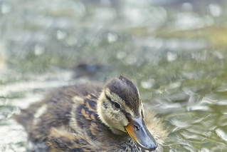 baby Mallard Duck on a lake