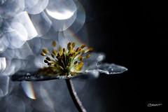 Misty Anemone (Brant He. Fageraas) Tags: woodanemone flower flora flowerart colors canon macro bokeh shallowdof photography norway droplets misty mist