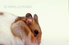 ZOO0135-2 (Akira Uchiyama) Tags: 動物たちのいろいろ 耳 耳ゴールデンハムスター