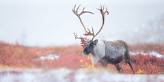 Caribou in the Snow (adamhillstudios) Tags: wildlife canada wild animal mamma mammal caribou north winter autumn northwestterritories