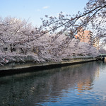 Full bloom cherry blossoms at Ohyokogawa River (大横川の桜)