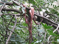 Pacific Northwest Tree Octopus, loaded 4-1-2017. Read description in the text below. (polepenhollow) Tags: aprilfool silly ridiuclous