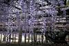 DSC_1612 (sayo-tsu) Tags: 埼玉県 春日部市 kasukabe saitama wisteria 藤 特別天然記念物 牛島のフジ