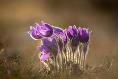 Vibrant flowers (hjuengst) Tags: flower pasqueflower küchenschelle kuhschelle purple violet april spring pulsatillavulgaris wildflower dietersheim garchingerheide