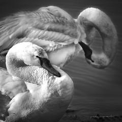 opposti #2 (pamo67) Tags: pamo67 opposites cigni swand piume plumage bianco 2 uccelli birds volatili square bn bw nero monocromo bianconero blackwhite monochrome lago lake coppia pair pasqualemozzillo