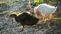 baby_ducks2