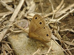 little_wood_satyr_butterfly