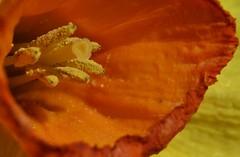 Daffodil (Narcissus) _DSC0124 (ikerekes81) Tags: daffodilnarcissus daffodil narcissus flower flora landscape closeup macro extremecloseup extrememacro extensiontube nikond3200 d3200 nikon 18105mm istvan istvankerekes kerekes ik nature