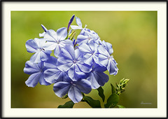 Plumbago auriculata (J. Amorin) Tags: macro amorin macuspana canon10028macro canon7d flor flower plumeria plumbago auriculata capensis