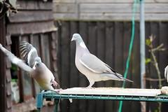 21 April 2017 (40) (AJ Yakstrangler) Tags: yakstrangler pigeon pigeons