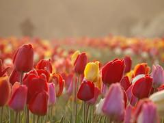 TULPEN SELBER PFLÜCKEN _4085158 (hans 1960) Tags: outdoor nature natur tulips tulpen flower fleur bunt unschärfe bokeh farben colours spring frühling printemps primavera germany red rot gelb yellow misty mist
