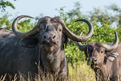 Cape buffalo - Kruger NP - South Africa (bart coessens) Tags: buffalo capebuffalo mammal mammals herbivore animals animal wildlife safari wildanimals kruger krugernationalpark southafrica southafricannationalparks southernafrica