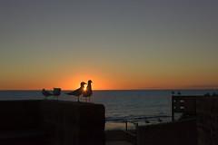 Meeting Adjourned (Wajahat Mahmood) Tags: seagull perth westernaustralia wa sunset warm cottesloebeach nikond810 googlenik silhouette shadows sunrays beams sea ocean