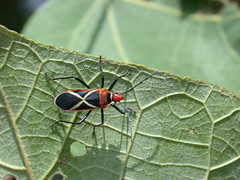 Cotton stainer bugs (Dysdercus decyssatus) (wildsingapore) Tags: sungeibuloh dysdercus decyssatus singapore marine coastal intertidal shore seashore marinelife nature wildlife underwater wildsingapore insecta