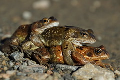 Menage a Toad (steve_whitmarsh) Tags: animal nature frog toad amphibian wildlife