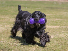 15/52 - Sammy 2017 (conniegavin12) Tags: 52weeksfordogs fieldspaniel spaniel dog pet
