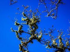 The clothes of age (m barraclough) Tags: nature canon100d canon cornwall sky blue tree oak lichen